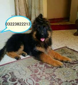 gsdcp pink pedigree champion blood line gsd puppy available for sale