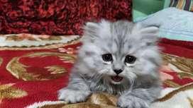 PERSIAN KITTENS CAT SIAMESE CALLICO MAINCOON