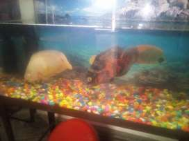 2 Oscar fish