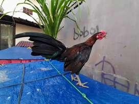 Sepasang Ayam Hutan sumatra seri f / Berugo # murai koi serama bangkok