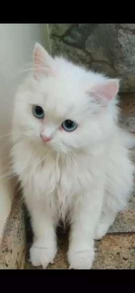 Persian kitten for sell