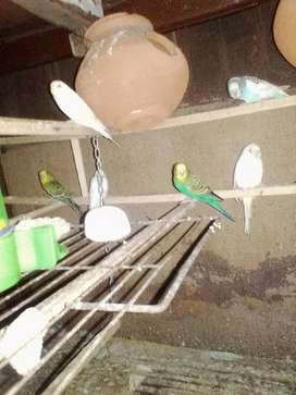 Australian parrots for sale At PASRUR.