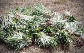 Pineapple suckers or plant