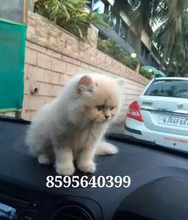 Trained Persian Kittens and Cats are available