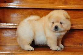 Chow chow pups and adult both available