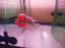 Imported AA Grade SRD Flowerhorn size 3.5 to 4 inches Each 1300rs