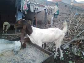 Bakra for sale donda hai