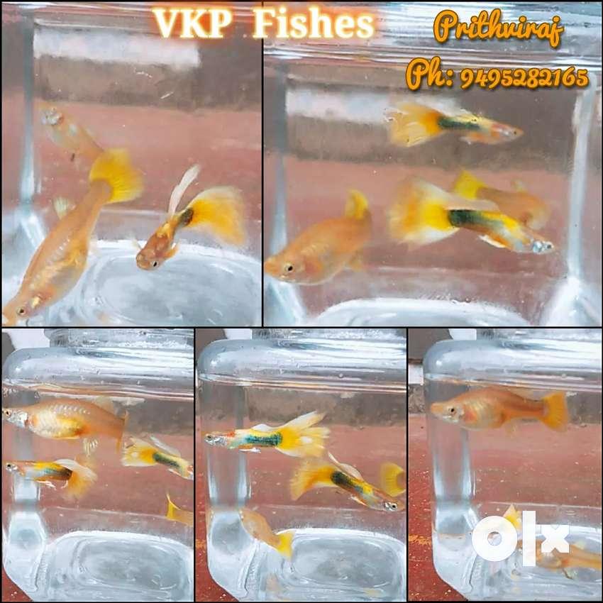 GUPPY Yellow  Tuxedo Bruder ( Rs 120 per Pair) 0