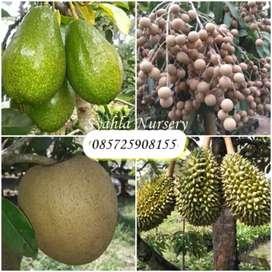 Bibit Buah: Durian, Alpukat, Lengkeng, Mangga, Jambu, Rambutan, Jeruk