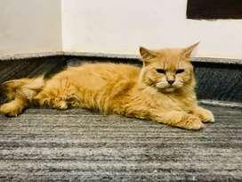 Golden colour female cat