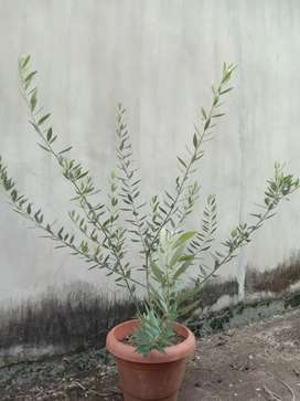 Olive plant purchsed from Isreal