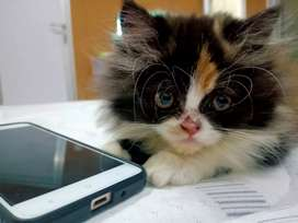 Kucing persia 3 bulan
