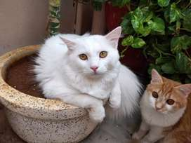 2 Doll face Persian kittens for sale