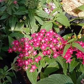 Bibit bunga pentas tanaman penghias rumah
