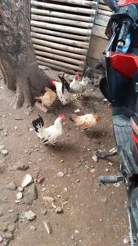 Ayam kate 5 ekor jual butuh atau barter hp android apa aj