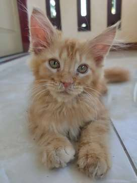 Kitten Maine Coon Pure /  Anak Kucing Mainecoon