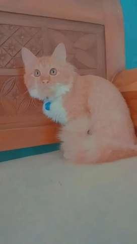Kucing persia betina gimbul