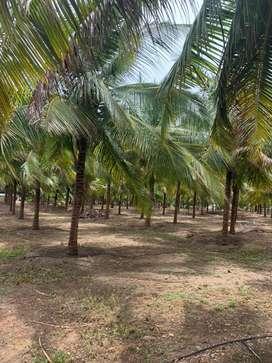 Coconut farm/agricultural land/agriculture land/farm land/farm house