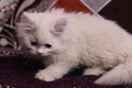 Persian kitten available top quality kitten