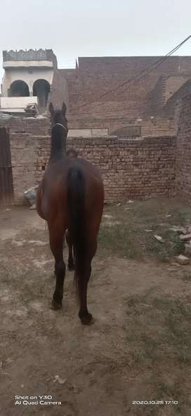 English barood mare 7 months pragnat gohri for sale