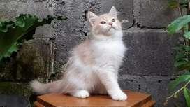 kucing persia medium jantan bicolor cream lucu