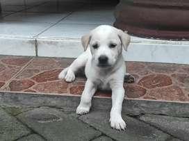 Anak Anjing Putih Cewek