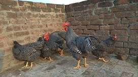 Barred Plymouth Rock Young Breeder Chickens (100% Pure Heritage Breed)