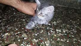 PERSIAN KITTENS FOR SALE