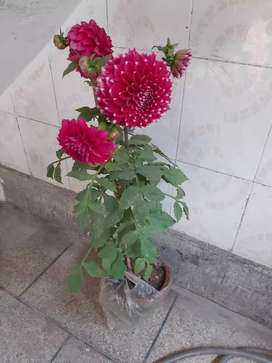 Beautiful plant Dahlia big size 600