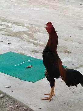 Ayam bangkok win
