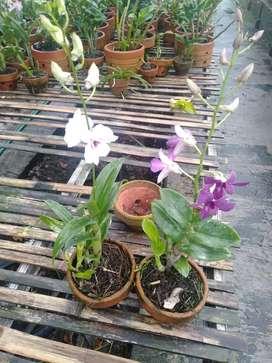 Banyak stok -jual tanaman anggrek dendrobium