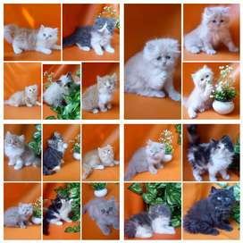 Kucing 14 ekor pilihan anakan atau kitten