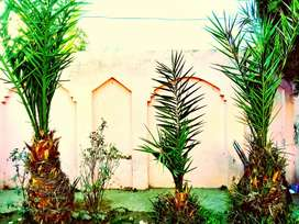 palm trees for sale  all pakistan  hight 20 feet age 23 years contect