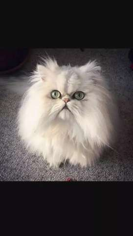 Persian Cat Is Beautiful White Color