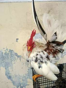 Ayam Kate blorok