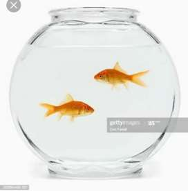 Fish bowl with pair of gold fish