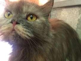 Kucing Persia Flatnose Long Hair Betina