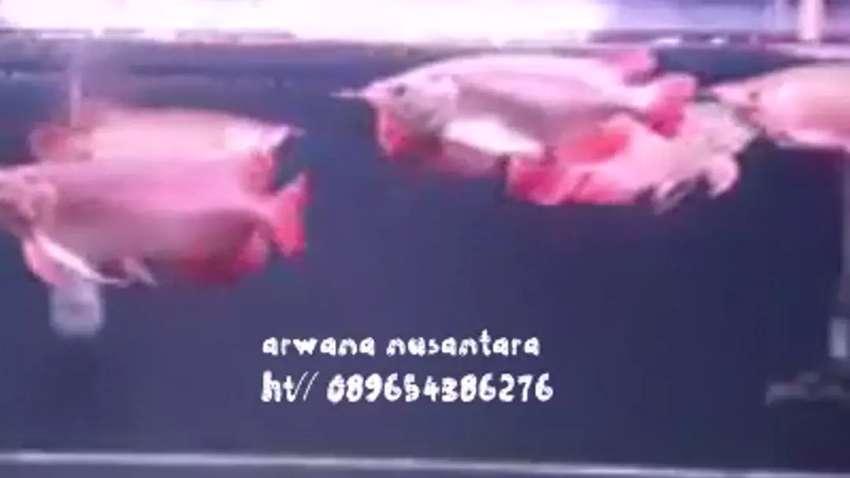 Arwana auper red 0