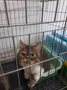 Exotic shorthair persian brown tabby and white Peaknose