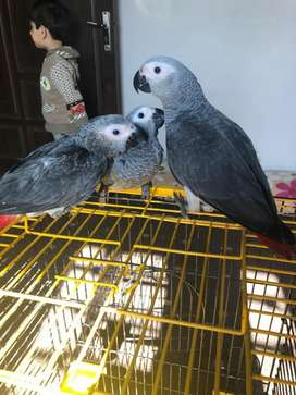 African grey parrot chicks