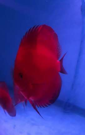 Discus Red Melon 5""