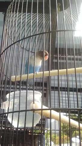 Love bird mangsi fs