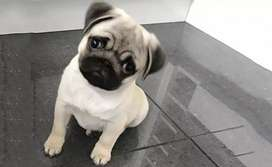 Adorable Teacup Pug Puppy is Available
