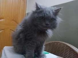 Pure Grey Persion Cat for sale