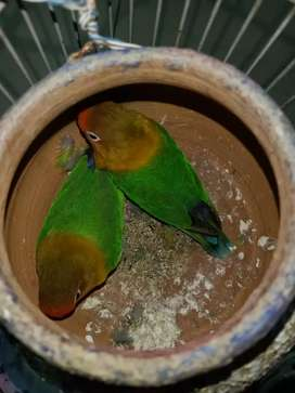 Fisher love bird parrot pair available