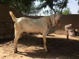 Muhammad Puri Breed Bakra