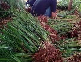 Jual rumput vetiver di Aceh