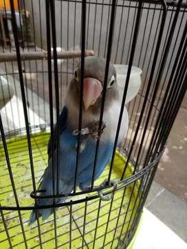 Lovebird warna biru