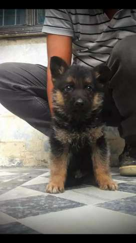 Gsd Male Pup