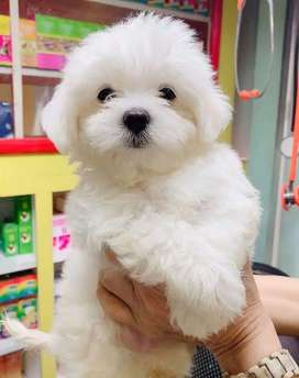 Maltese puppies Show Quality Available
